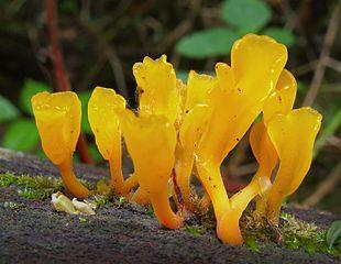 Mushrooms – Dacryopinax spathularia